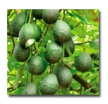 La Verne Nursery - Little Cado Avocado (Persea americana) Thumbnail