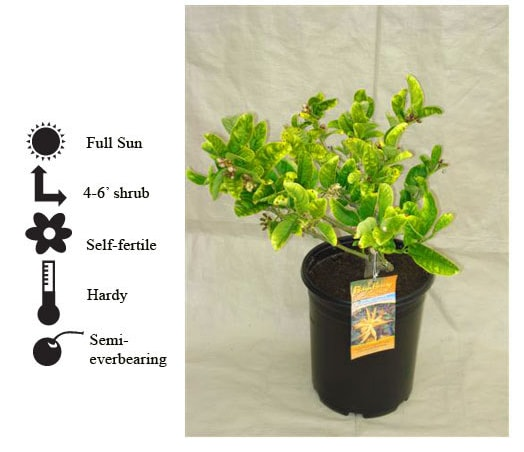 La Verne Nursery - Fingered Citron (Fingered Citrus medica )
