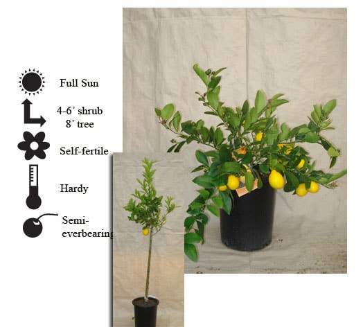 La Verne Nursery - Lemon Improved Meyer (Citrus limon)