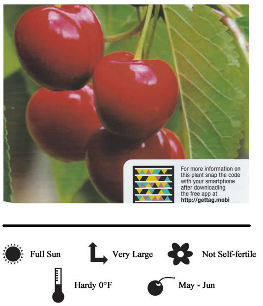 La Verne Nursery - Cherry Royal Lee (Prunus avium)