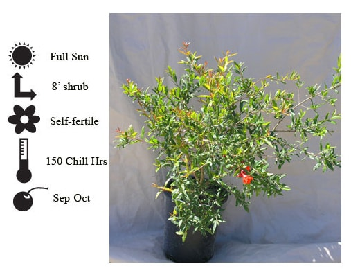La Verne Nursery - Pomegranate Utah Sweet (Prunus granatum)