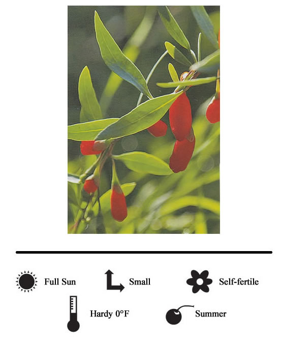 La Verne Nursery - Berry Goji (Lycium Barbarum)