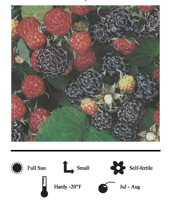 La Verne Nursery - Blackberry Triple Crown (Rubus)