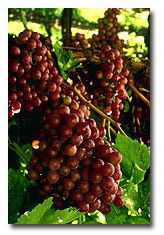La Verne Nursery - Grape Chardonnay (Vitis vinifera) Thumbnail