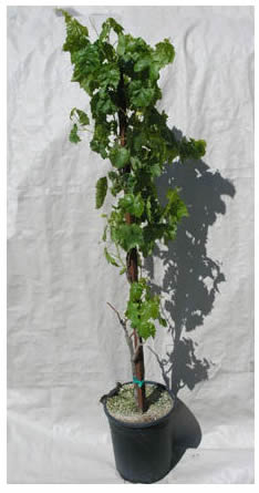 La Verne Nursery - Grape Thompson Seedless (Vitis vinifera) Thumbnail