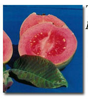 La Verne Nursery - Guava Beaumont Red (Psidium guajava) Thumbnail